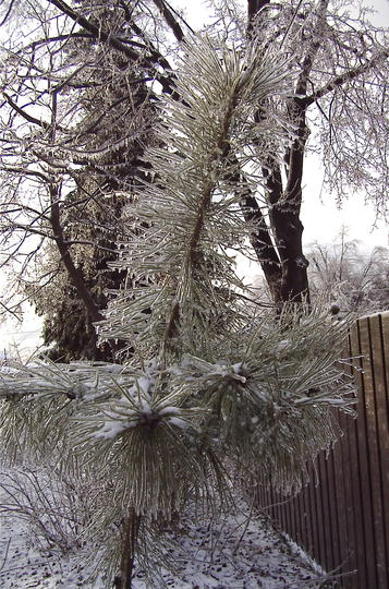 Red pine after ice storm (Pinus resinosa)