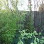 Phyllostachys aurea (Phyllostachys aurea (Hotei chiku))