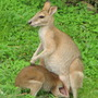 Joey wants back in Mum - the Agile Wallaby