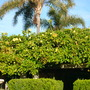 Solandra maxina - Cup of Gold Vine (Solandra maxina - Cup of Gold Vine)