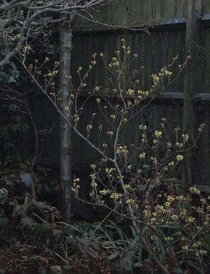 Hamamelis x intermedia 'Pallida' - Jan 2009 (Hamamelis x intermedia 'Pallida')