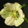 Picotee_seedling_2_200307