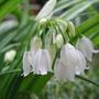 Allium paradoxum normale