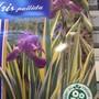 Iris pallida var Aurea Variegata (Iris pallida var. Aurea Variegata)