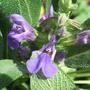 Salvia_lavandulifolia_flowers