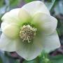Cream_hellebore_flower_a
