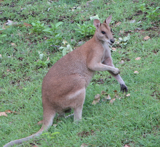 Wallaby being helpful