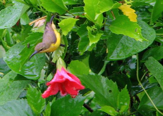 Garden visitor - Yellow-bellied Sunbird