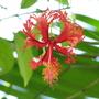 Hibiscus schizopetalus (Japanese Lantern or Skeleton Hibiscus)
