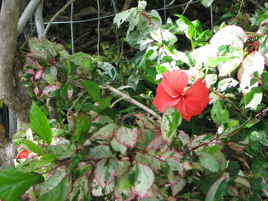 Snow Queen Hibiscus (Hibiscus rosa-sinensis (Chinese Hibiscus))