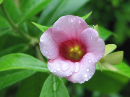 Purple Allamanda (Allamanda blanchetii or violacea)