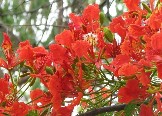 Poinciana (Delonix regia (Acacia Roja))