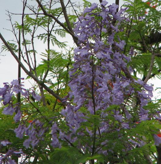 Jacaranda (Jacaranda mimosifolia (Brazil Rosewood))