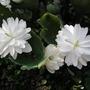 Sanguiniaria canadensis flore pleno