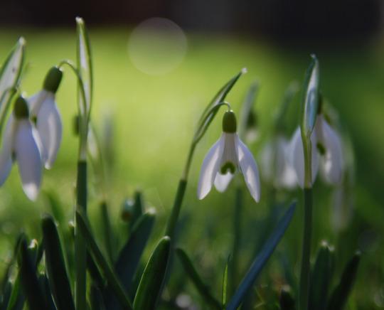 Snowdrops in colour (Galanthus elwesii (Snowdrop))