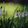 Snowdrops in colour (Galanthus elwesii (Snowdrop))