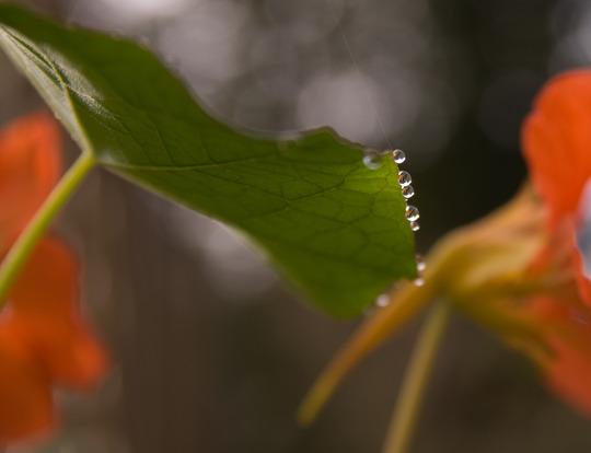 Nasturtium with dew drop