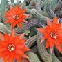 Echinopsis chamaecereus 2 (cactus Echinopsis chamaecereus)