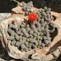 Echinopsis_chamaecereus_5a.jpg