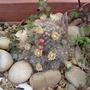 my cactus/Mammilaria prolifera (Mammilaria prolifera)