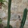 my cactus/Borzicactus samaiptanus+Pachycereus pringlei (Borzicactus samaiptanus+Pachycereus pringlei)
