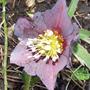 Helleborus purpurescens