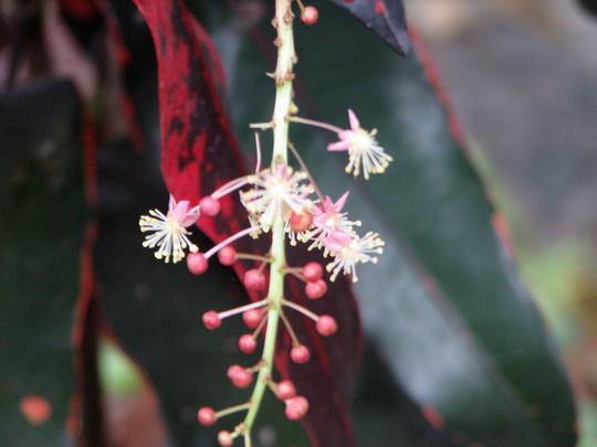Croton flowers (Codiaeum variegatum)