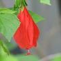 Malvaviscus penduliflorus - Cardinal's Hat or Lipstick Hibiscus (Malvaviscus arboreus var. mexicanus  (synonym. penduliflorus))