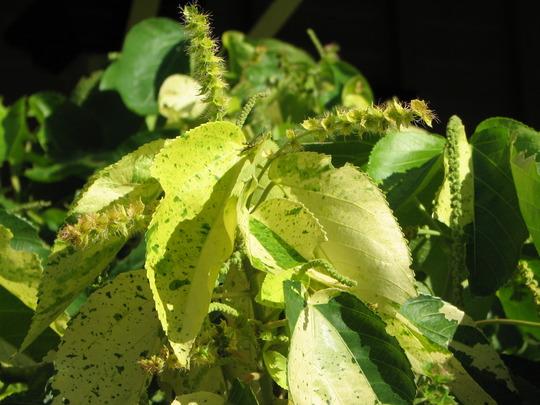 Acalypha (Acalypha wilkesiana 'Java White')