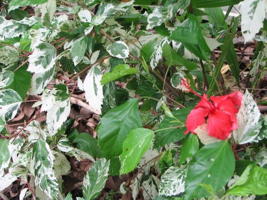 Snowflake Hibiscus (Hibiscus rosa-sinensis variegata 'Snowflake' or 'Snowqueen')