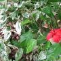 Hibiscus_rosa_sinensis_snowflake_2