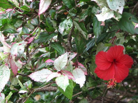 Roseflake Hibiscus (Hibiscus rosa-sinensis (Chinese Hibiscus))