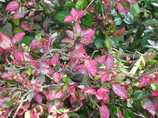 Leaves of the Roseflake Hibiscus (Hibiscus rosa-sinensis (Chinese Hibiscus))