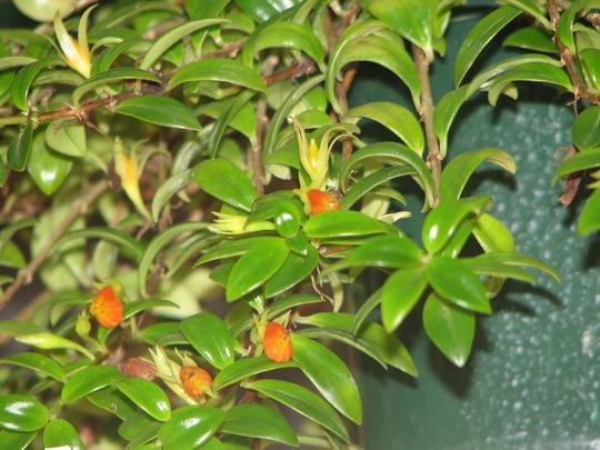 Gold Fish Plant (Nematanthus glabra)
