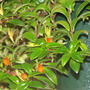 Gold Fish Plant (Nematanthus glabra)