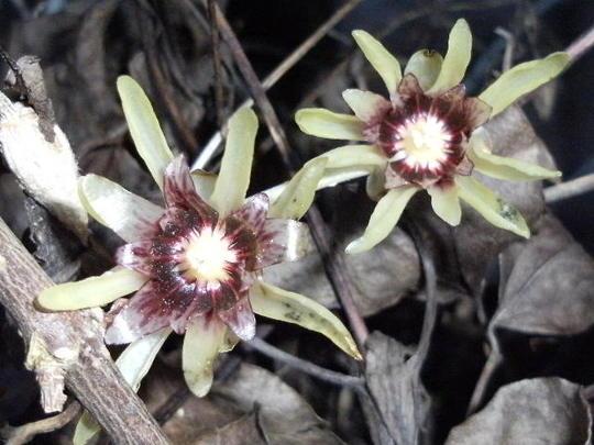 Winter Sweet (Chimonanthus praecox (Wintersweet))