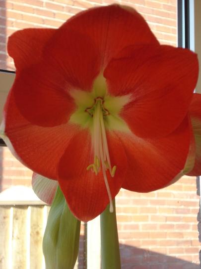 OPEN!! (Amaryllis belladonna (Belladonna lily))