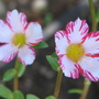 Sun Jewels (Portulaca grandiflora (Double Rose Moss))