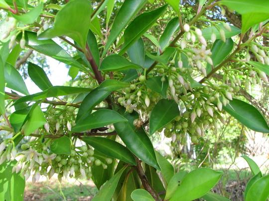 Ardisia elliptica shrub (Ardisia elliptica)
