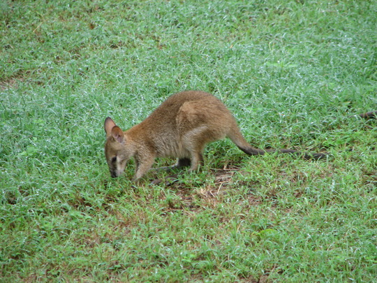 Garden visitor - the joey