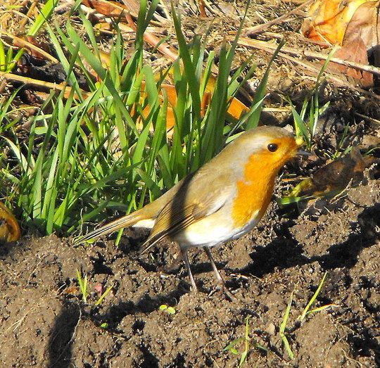 Happy Robin Hopping Around the Dug Over Ground