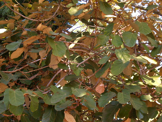 Pterospermum acerifolium - Maple Leaved Buyar (Pterospermum acerifolium - Maple Leaved Buyar)