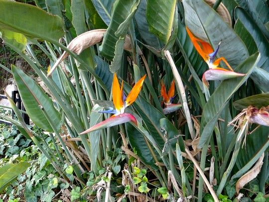 Bird of Paradise flower (Strelitzia reginae (Bird of paradise))