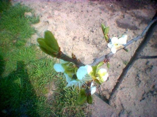 Malus domestica (Malus domestica (Apple))