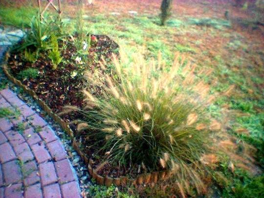 Fountain grass 2006 (Pennisetum alopecuroides (Chinese Fountain Grass))