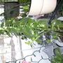 Mama Kalanchoe (Kalanchoe tomentosa (Panda Plant))