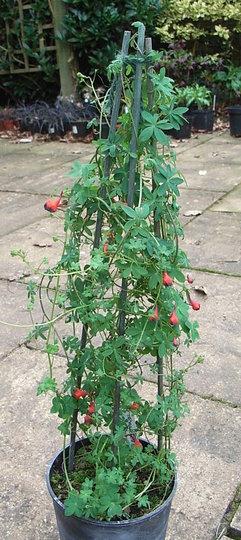 Tropaeolum tricolor 1 (Tropaeolum tricolor)
