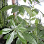 Lucky Money Tree (Pachira aquatica (Castano Del Choco))