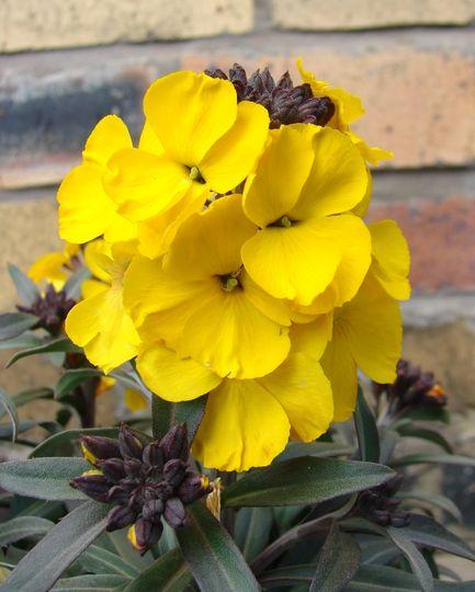 Walburton's Fragrant Sunshine (Erysimum cheiri (Goldlack))