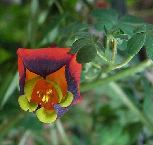 Tropaeolum tricolor 3 (Tropaeolum tricolor)